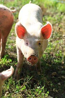 Pig, Breeding, Pink