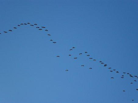 Flock, Flocking, Geese, Migrate, Flight, Sky, Birds