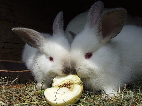 Rabbits, Red Eyes, White, Animal, Fur, Eat, Apple