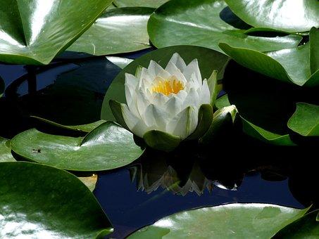Flower, Lotus Flower, Lotus, Lotus Blossom, Water Lily