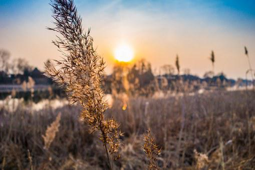 Spica, Grass, Sunset, Plant, Field, Meadow, River