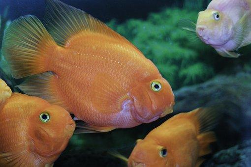 Fish, Orange, Tropical Fish, Colorful, Aquarium