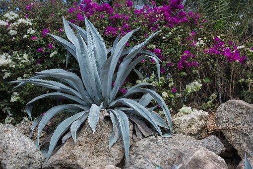 Succulent, Agave, Plant, Flowers, Rocks, Garden, Floral