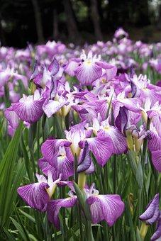 Iris, Flower, Purple, Nature, Floral, Natural, Plant