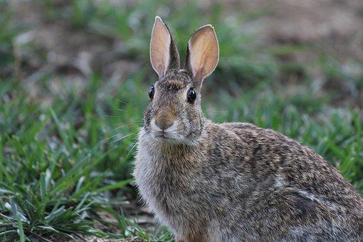 Rabbit, Eyes, Animal, Fur, Bunny, Easter, Creature