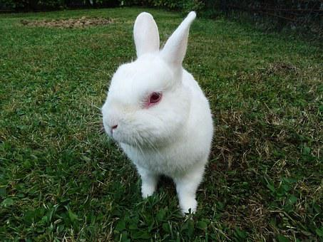 Rabbit, Animals, White, Green, Eyes, Pets