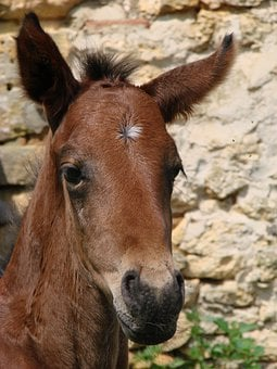 Foal, Filly, Horse, Portrait, Bai, French Saddle, Sport