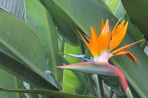 Strelizie, Flower, Caudata Greenhouse, Strelitziaceae