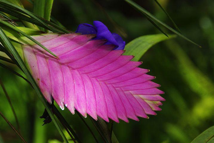Amazonie, Exotic Flower, Tillandsia, Ecuador