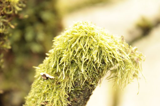Louisiana Moss, Moss, Tree, Tillandsia Usneoides