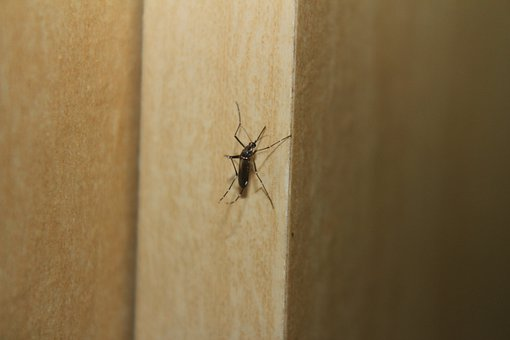 Mosquito, Dengue Fever, Aedes