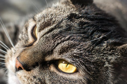 Cat, Grey, Satisfied, Animal Portrait, Domestic Cat
