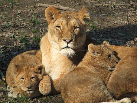 Lion, Mama, Woman, Zoo, Animals, Adult, Lying, Close Up