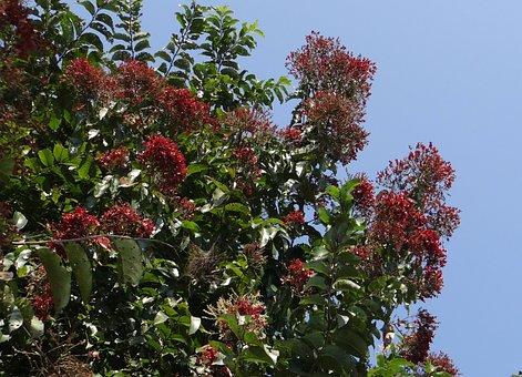 Tree, Kindal, Asvakarnah, Terminalia Paniculata