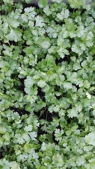 Herbs, Coriander, Nature, Background, Green, Cooking