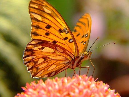 Pingo-silver Butterfly, Gulf Fritillary, Butterfly