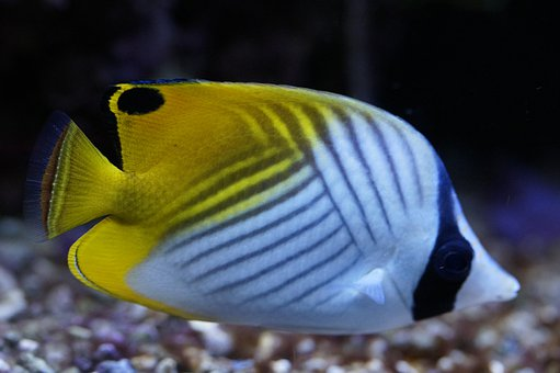 Angel Fish, Angelfish, Colorful, Pattern, Retired, Exot