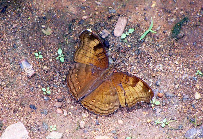 Butterfly, Common Baron, Dandeli, Baron, Karnataka