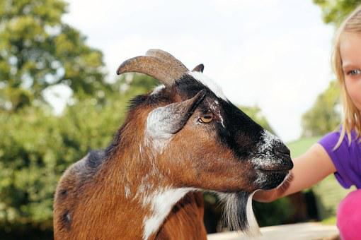 Petting Zoo, Goat, Stroke, Pet, Livestock, Head, Goatee