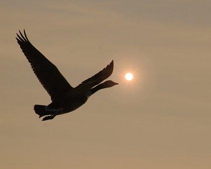 Bird, Geese, Goose, Wildlife, Duck, Flying, Outdoor