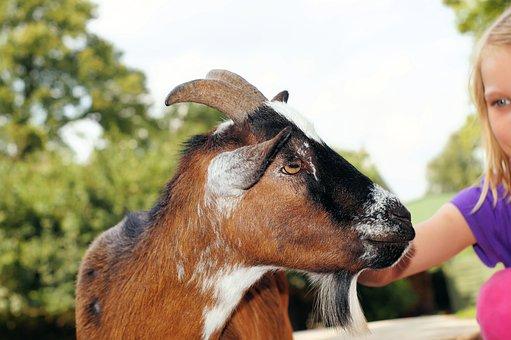 Petting Zoo, Goat, Stroke, Pet, Livestock, Head, Goatee
