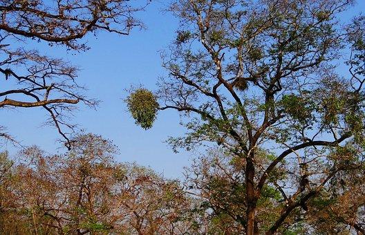 Rubbery Mango Mistletoe, Helicanthes Elasticus