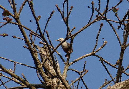 Malabar Starling, Sturnia Blythii, Blyth's Starling