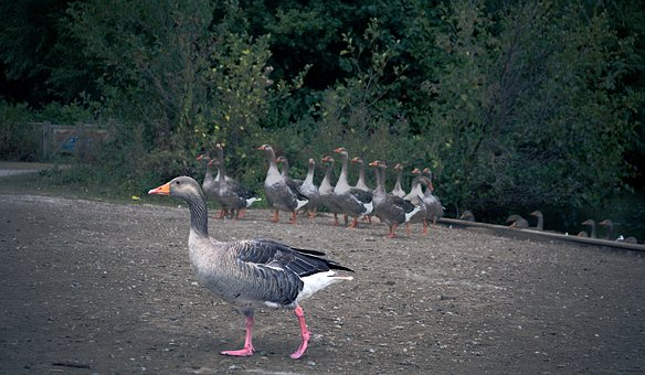 Geese, Goose, Walking, Wildlife, Bird, Nature, Outdoors