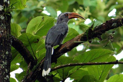 Malabar Grey Hornbill, Ocyceros Griseus, Hornbill