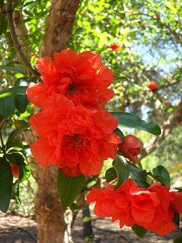Pomegranate, Pomegranate Blossom, Blossom, Bloom, Bloom