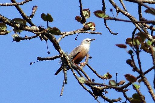 Starling, Malabar White-headed Starling