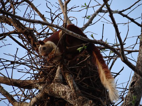 Malabar Giant Squirrel, Dandeli, Wildlife, Karnataka