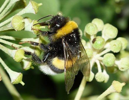 Bee, Bombus, Terrestris, Macro