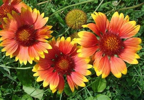 Gaillardia, Blanket, Flowers, Summer, Floral, Garden