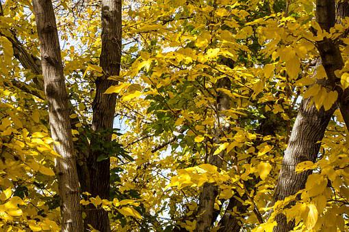 Fall, Color, Yellow, Leaves, Leaf, Tree, Trunk, Green