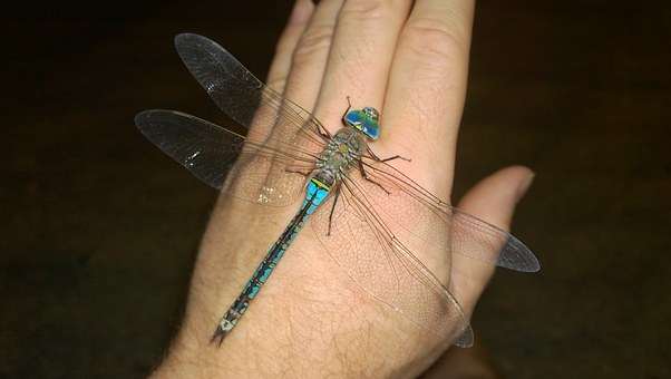 Dragonfly, Close Up, Great Aeshne, Insect, Anisopteran