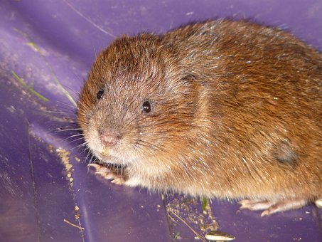 East Water Vole, Mouse, Face, Cute, Sweet, Close Up