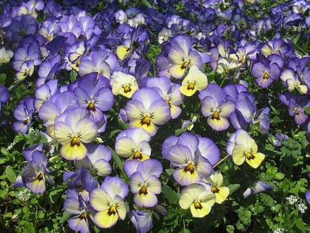 Pansy, Sumire, Purple, Yellow, Flower Bed, Green
