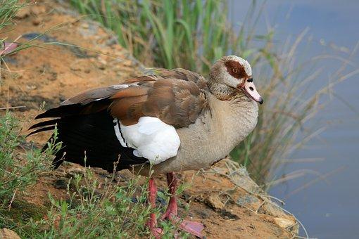 Egyptian Goose, Goose, Brown, Edge Of Pond, Bird, Fly