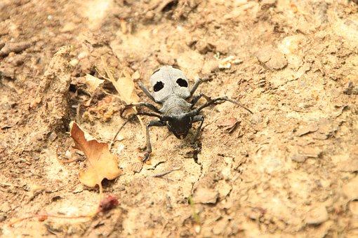 Beetle, Black, Bug, Cerambycidae, Funereus, Horns