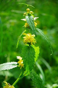 Galeobdolon, Dead Nettle, Flowers, Yellow