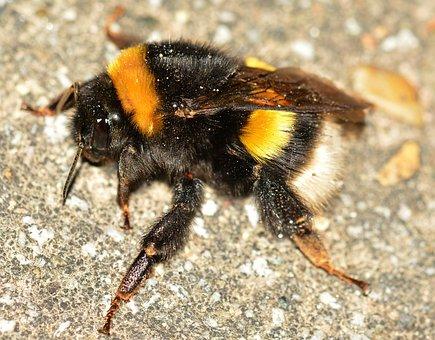 Insects, Bee, Bombus, Terrestris