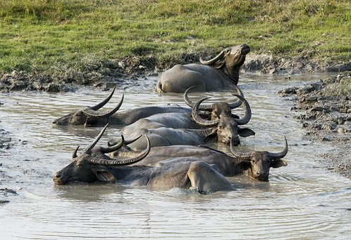 Buffalo, Asiatic, Wild, Mud, Animal, Kaziranga