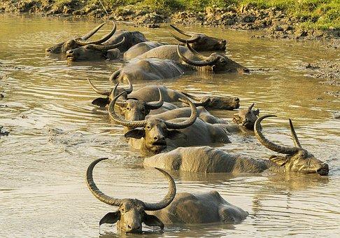 Buffalo, Asiatic, Wild, Mud, Animal, Kaziranga