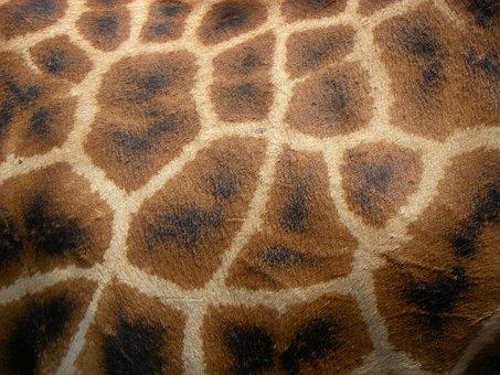 Giraffe, Africa, Kenya, Nairobi, Afew Giraffe Centre