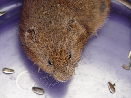 East Water Vole, Mouse, Water Vole, Large Vole, Vole