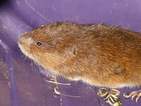 Vole, East Water Vole, Mouse, Water Vole, Large Vole