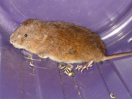 Mouse, East Water Vole, Water Vole, Large Vole, Vole