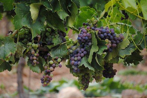 Grapes, Vines, France, Wine, Vineyard, Fruit, Leaf