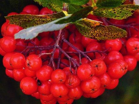 Rowan, Berries, Plant, Tree, Nature, Leaf, Season